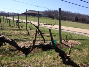 Chaumette Vine in April
